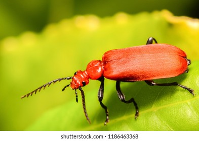 A Red Headed Cardinal Beetle, a Coleoptera in the Family Pyrochroidae. It is a predator feeding on other insects.