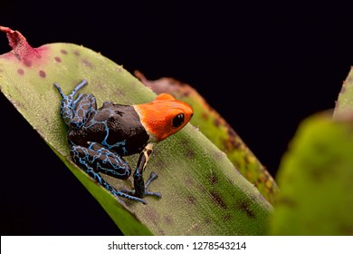 Red headed poison arrow frog, Ranitomeya fantastica. A beautiful poisonous animal from the tropical Amazon rain forest of Peru.