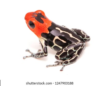 Red headed poison dart or arrow frog, Ranitomeya fantastica. A beautiful small poisonous animal from the Amazon rain forest in Peru. Isolated on white background.