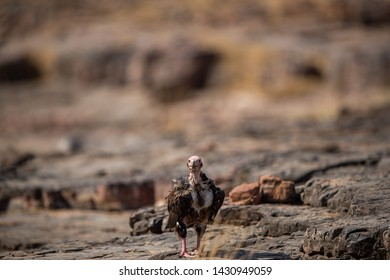 red headed vulture or sarcogyps calvus or pondicherry vulture close up with expression sitting on rocks at Ranthambore Tiger Reserve National Park , Rajasthan, india