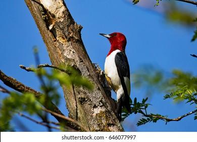 Red Headed Woodpecker On a Tree.