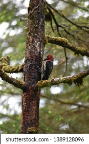 Red headed woodpecker in Tongass National Rainforest in Sitka, Alaska