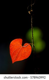 Red Heart Leaf, Autumn Heart Leaf.