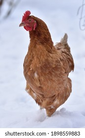 Red Hen in the snow on the open field. Free Range and Organic breed Hen. Eco farm domestic bird. Vertical picture.