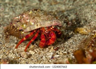 Red Hermit Crab, Dardanus calidus is a species of hermit crab from the East Atlantic (Portugal to Senegal) and Mediterranean Sea