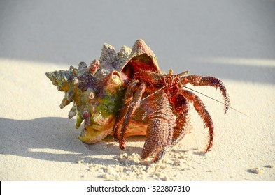 Red hermit crab with pinchers walking on beach with large shell and sand