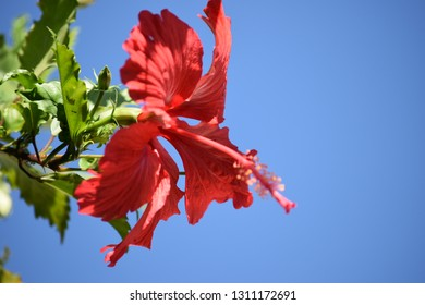 Red Hibisco with Blue Background