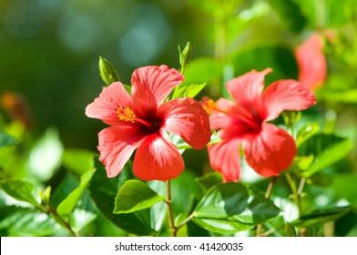 red hibiscus arnottianus