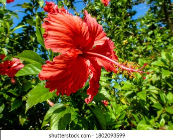 Red hibiscus flower with blue and green background