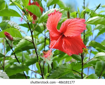 Red hibiscus flower with branches against the blue sky. Dominica, Caribbean