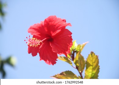 Red Hibiscus flower close up in the blue sky close up Caribbean