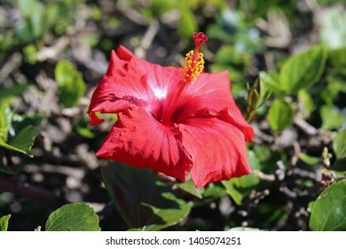 Red hibiscus flower in a closeup photo taken with a macro lens. In this photo you can see bright red hibiscus blooming with a soft green background including leaves. Beautiful tropical plant!