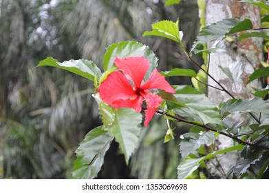 Red Hibiscus Beautiful Flower Images Stock Photos Vectors