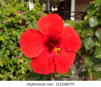 Red Hibiscus Flower in the Garden of Vietnam Nha Trang