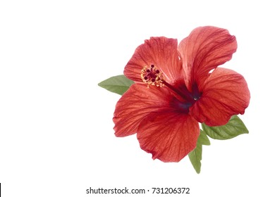 Red hibiscus flower with green leaves isolated on white background