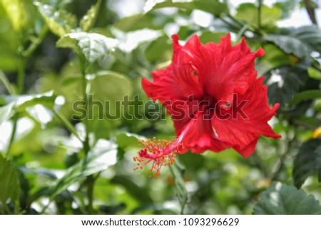 Red Hibiscus Flower Green Leaves Background Stock Photo Edit Now