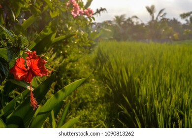 Red Hibiscus flower in a green ricefield background highlighted by sunset rays in Bali