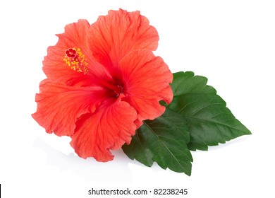 Fleur d'hibiscus rouge isolée sur fond blanc, chemin de détourage inclus
