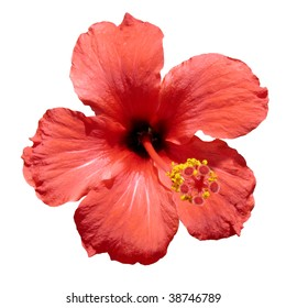 A red hibiscus flower, also known as rosemallow or hibiscus rosa-sinensis, isolated.  (Spanish: Rosa china o flor de Jamaica)