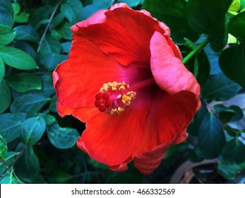 red hibiscus flower with leaves on sunny day