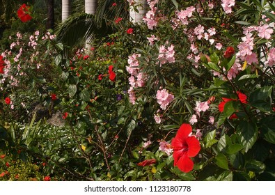 Red hibiscus flower on a background of a bush with pink flowers in the garden of Vietnam Nha Trang