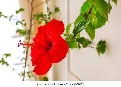 Red hibiscus flower on a branch with green leaves. Indoors close up. Indoor plant.