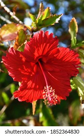 A red hibiscus flower is on the end of a branch, surrounded by green leaves. It has five petals and the anthers (pollen pods) on the stamen are clearly visible.
