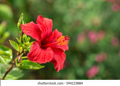 Hibiscus Flower Images Stock Photos Vectors Shutterstock