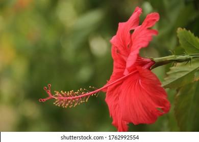 Red Hibiscus flower pistil close up Gudhal Plant Caribbean