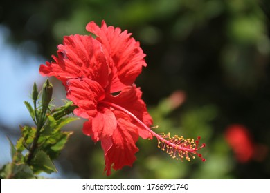 Red hibiscus flower with pistil closeup in tropical garden