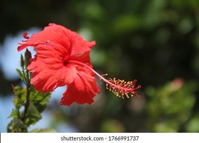 Red hibiscus flower plant closeup tropical garden
