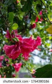 red hibiscus flower tree with depthfield