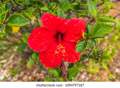 Red hibiscus flower, wet after rain