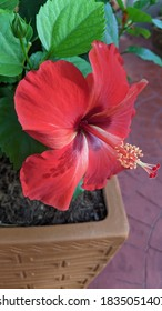 Red hibiscus flowers bloom beautifully in the morning.