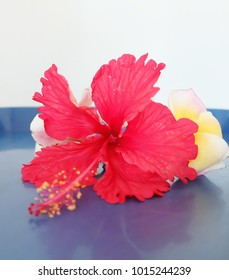 Red hibiscus flowers or Red chaba flower isolated on a blue background.
