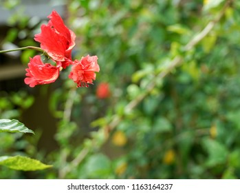 Red Hibiscus in a garden