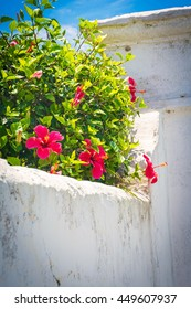 Red hibiscus growing over a rustic white wall in St. George's Bermuda.
