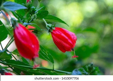 Red hibiscus outdoors with blurred background in Rio de Janeiro - Brazil