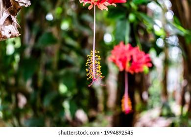 Red Hibiscus schizopetalus, spider hibiscus stamen hanging from the flower, gorgeous yellow stamen, front stamen in focus