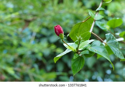 Red Hibiscus or Shoe flower buds on plant