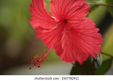 red Hibiscus syriacus flower in nature garden.