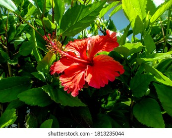 Red hibiscus wiht green background