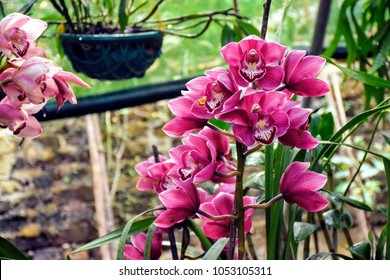 The Red Himalayan Orchid