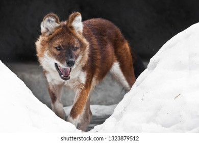 The red Himalayan wolf among the snow-wilder Asian animal of the dog family is the red wolf (red dog).