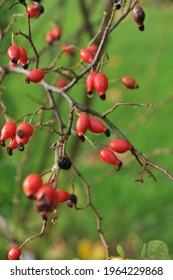 Red hips of Laxa rootstock (Rosa coriifolia Froebelii)  in a garden in October