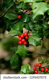 Red holly berries brightly colored against beautiful green leaves in the stark surroundings of the arboretum of Asheville, North Carolina in December.