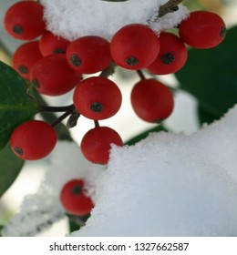 red holly berries and leaves in snow