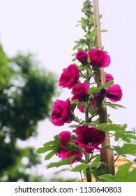 Red Hollyhock blooming in the garden. Red Hollyhocks or Alcea rosea flower in a garden.