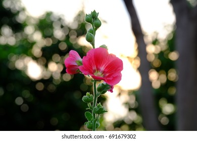 Red Hollyhock Blossom In The Flower Garden With Green Background And Day Light