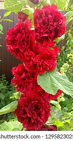 Red Hollyhock Double Puff with green three-lobed leaves. The hollyhock variety, that blooms a double puffy red bloom.